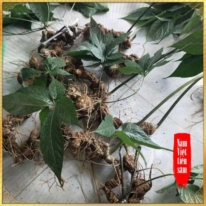 Sâm ngọc linh loại 1 (1,3 đến 2 lạng/củ), tuổi từ 10 - 20 năm, 4 đến 7củ /kg