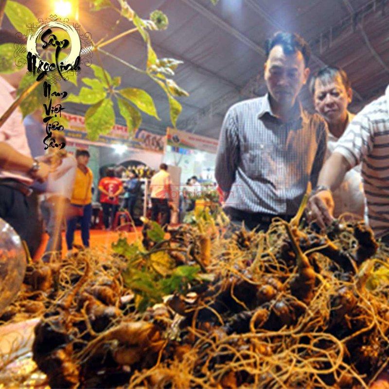 Sâm Ngọc Linh trồng 15 củ 1 cân