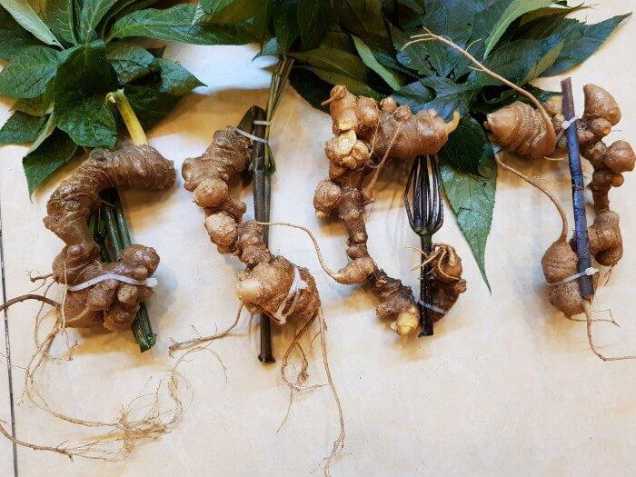 Sâm Ngọc Linh là thảo dược có dược tính cao giúp hỗ trợ điều trị bệnh