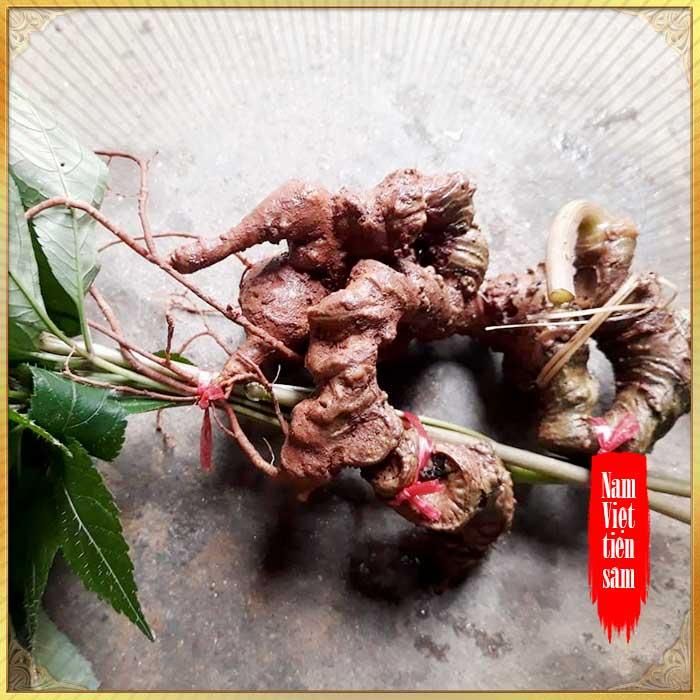 Sâm ngọc linh 8 - 9 năm tuổi 7 đến 10 củ/kg NS355 11