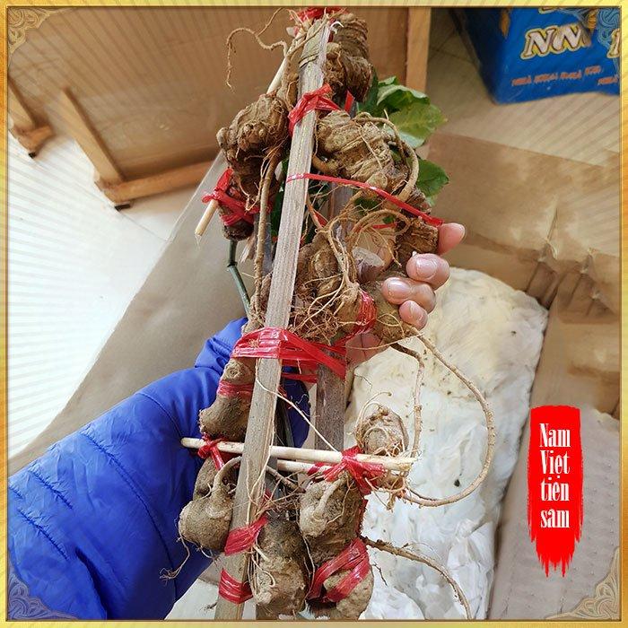 Sâm Ngọc Linh loại thượng hạng 0,8 đến 1kg/1 củ NS657