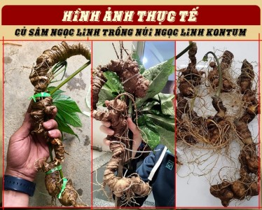 hinh-anh-sam-nui-ngoc-linh-kon-tum-1