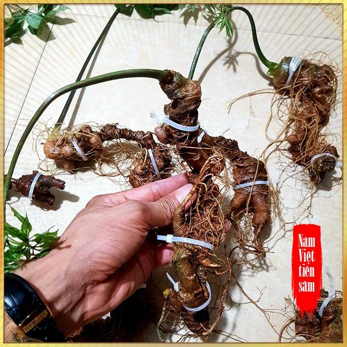 Sâm Ngọc Linh trồng loại 8 củ 1kg
