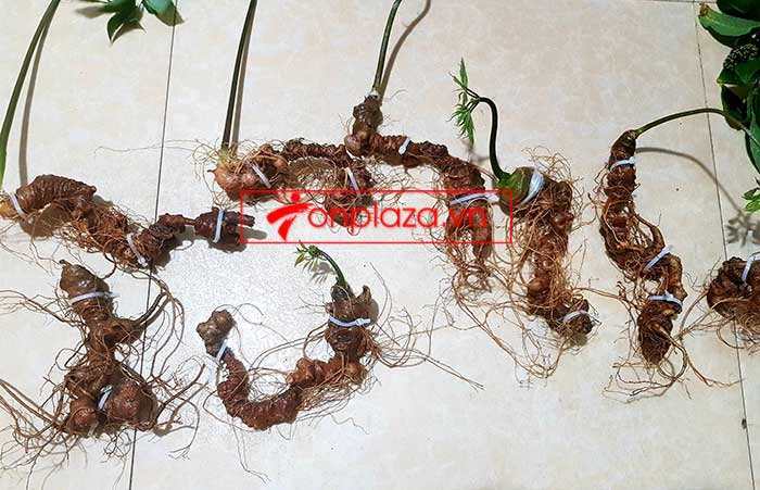 Sâm Ngọc Linh trồng loại 8 củ 1kg 1