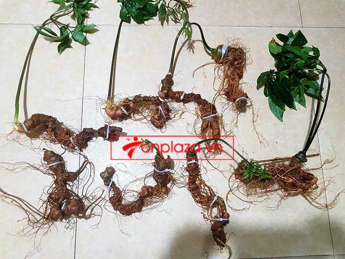 Sâm Ngọc Linh trồng loại 8 củ 1kg 3