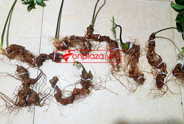 Sâm Ngọc Linh trồng loại 8 củ 1kg 4