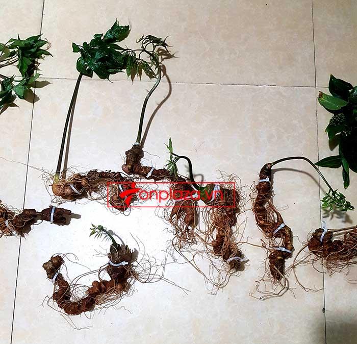 Sâm Ngọc Linh trồng loại 8 củ 1kg 5