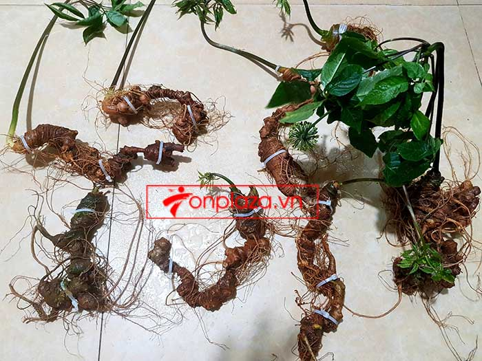 Sâm Ngọc Linh trồng loại 8 củ 1kg 6
