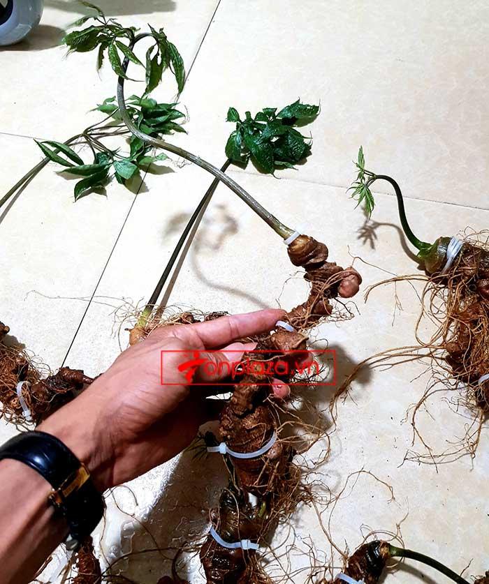 Sâm Ngọc Linh trồng loại 8 củ 1kg 7