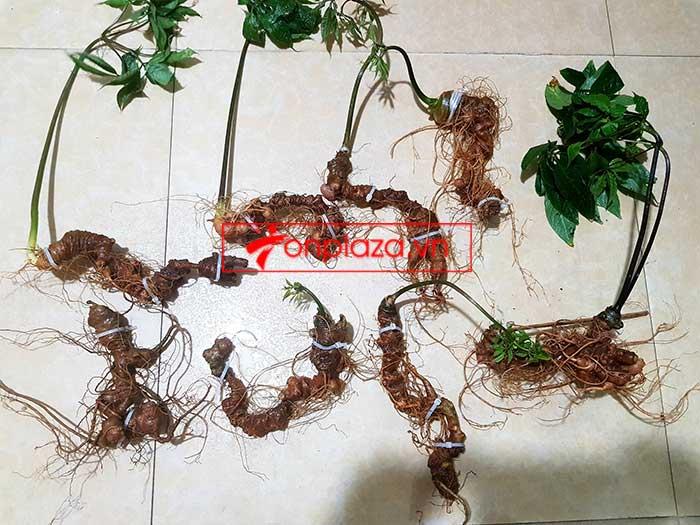Sâm Ngọc Linh trồng loại 8 củ 1kg 9