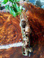 sâm Ngọc Linh rừng quý hiếm (mỗi củ khoảng 60 năm tuổi, dài 60 phân, trọng lượng 0,6kg)