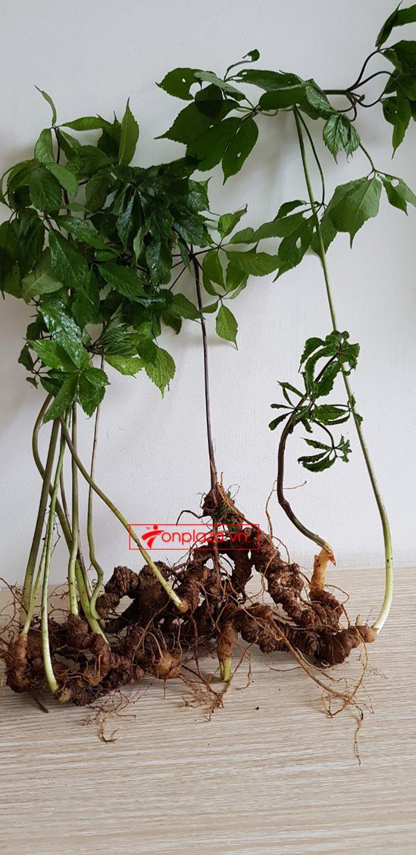Bình sâm Ngọc Linh rừng cao cấp số 13 - 6 lít 8