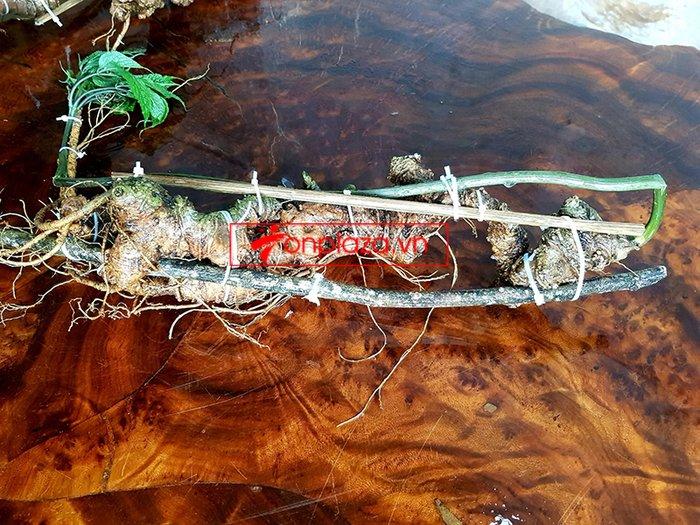 Bình sâm Ngọc Linh rừng 100% thượng hạng - 41 lít 11