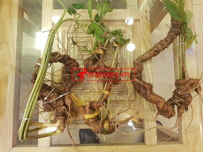 Bình sâm Ngọc Linh trồng tại đỉnh núi Kon Tum số 26 - 41 lít 12