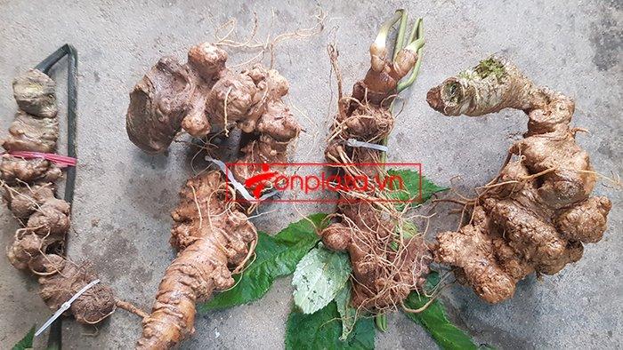 Bình sâm Ngọc Linh trồng tại đỉnh núi Kon Tum số 26 - 41 lít 13