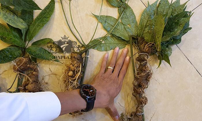 Sâm Ngọc Linh trồng 15 - 20 năm tuổi, 5 củ 1kg 2