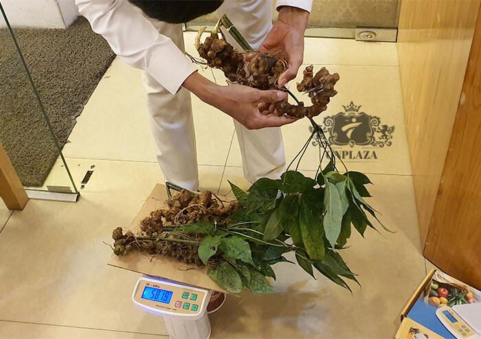 Sâm Ngọc Linh trồng 15 - 20 năm tuổi, 5 củ 1kg 4
