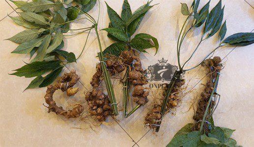 Sâm Ngọc Linh trồng 15 - 20 năm tuổi, 5 củ 1kg 6
