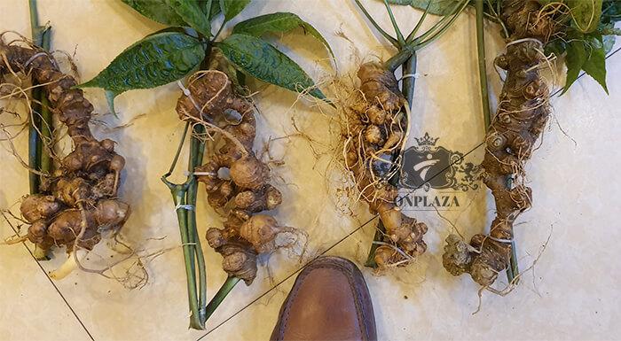 Sâm Ngọc Linh trồng 15 - 20 năm tuổi, 5 củ 1kg 8