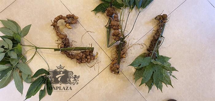 Sâm Ngọc Linh trồng 15 - 20 năm tuổi, 5 củ 1kg 14